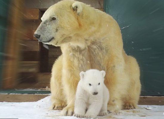 STV brings polar bear cub documentary to Channel 4
